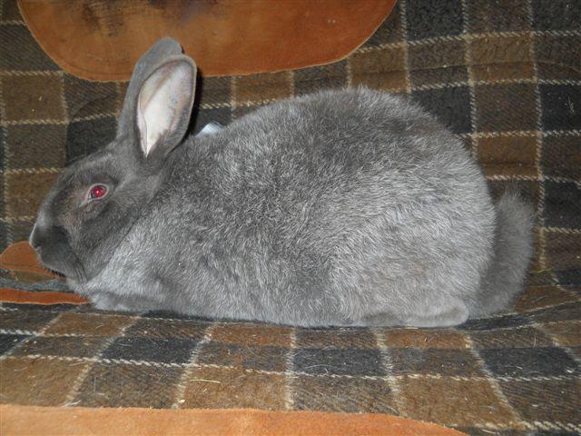 Lilac Silver Fox Rabbit