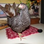 Bantam Dominique Chicken