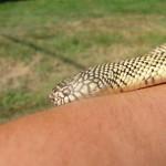 Brooks King Snake